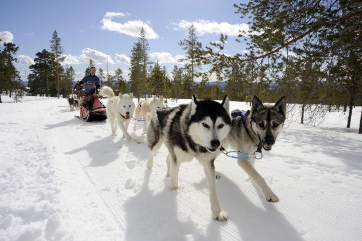 Huskyschlitten sind in Schweden ein beliebtes Fortbewegungsmittel.